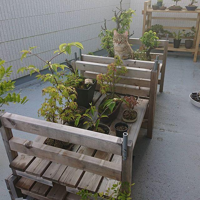 さて、タビちゃんはどこにいるでしょう?ってすぐわかるか(笑)盆栽の中に潜むのが好きらしい♪...#minutes #cat #猫 #子猫 #ミヌエット #キジトラ #ミヌエット男の子 #ねこすた #catstagram #猫と住む家 #bonsai