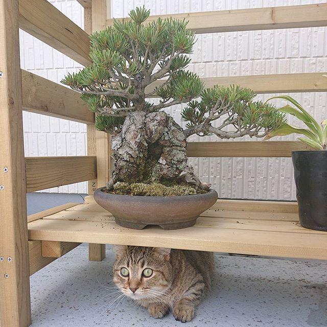 今日は盆栽の番人。...#minutes #cat #猫 #子猫 #ミヌエット #キジトラ #ミヌエット男の子 #ねこすた #catstagram #猫と住む家 #bonsai #盆栽