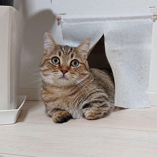何かの受付のようなタビ。正面と裏側。...#minutes #cat #猫 #子猫 #ミヌエット #キジトラ #ミヌエット男の子 #ねこすた #catstagram #猫と住む家