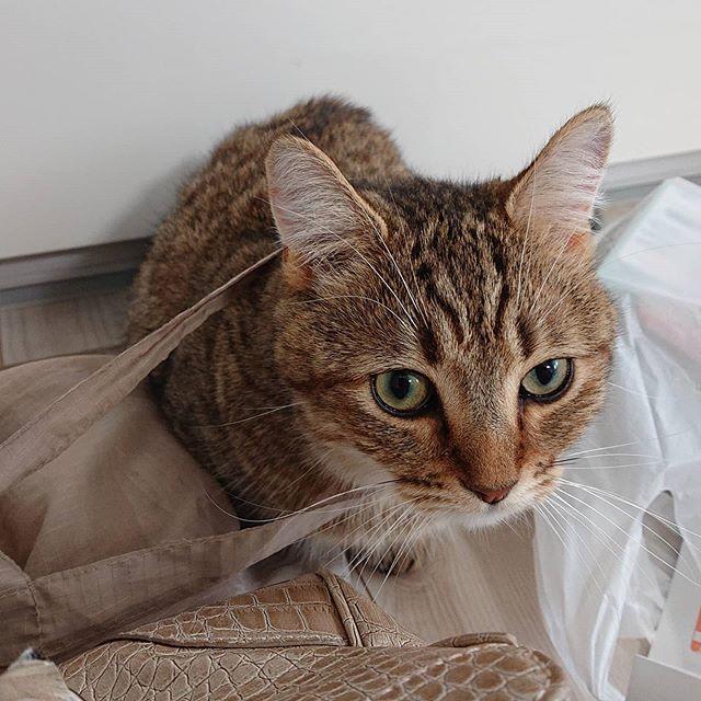 なんでこう、うちの猫たちは…(笑)からまるのかな…(笑)買い物から帰ってきた荷物チェック。....#minutes #cat #猫 #子猫 #ミヌエット #キジトラ #ミヌエット男の子 #ねこすた #catstagram #猫と住む家