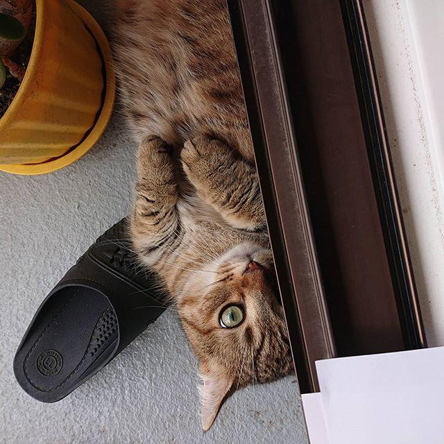 ベランダで遊ぶタビ。ドアのすぐ近くに隠れてる。通るのは危険かも(笑)...#minutes #cat #猫 #子猫 #ミヌエット #キジトラ #ミヌエット男の子 #ねこすた #catstagram #猫と住む家