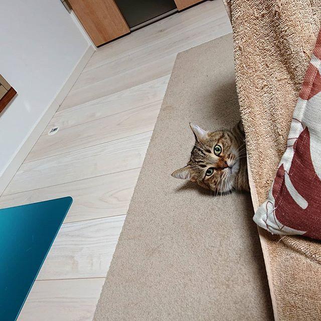座椅子の裏からこっちの様子をうかがっていたタビ。...#minutes #cat #猫 #子猫 #ミヌエット #キジトラ #ミヌエット男の子 #ねこすた #catstagram #猫と住む