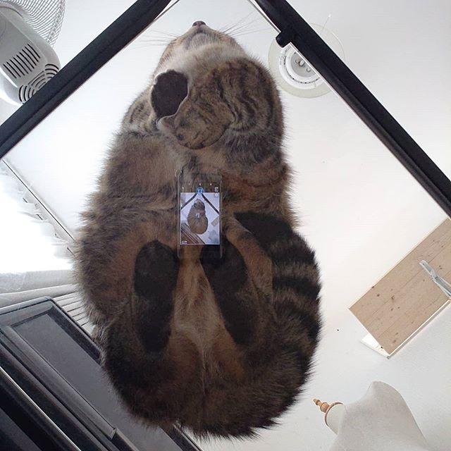 猫の裏側。ガラステーブルに座っていたので撮ってみた♪...#minutes #cat #猫 #子猫 #ミヌエット #キジトラ #ミヌエット男の子 #ねこすた #catstagram #猫と住む家