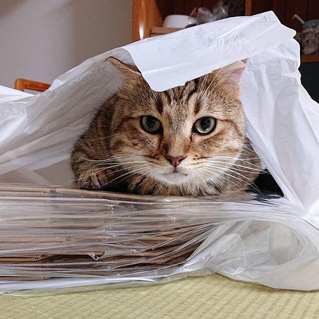買い物の袋に入り込み…気に入って…そのまま寝ちゃった。...#minutes #cat #猫 #子猫 #ミヌエット #キジトラ #ミヌエット男の子 #ねこすた #catstagram #猫と住む家