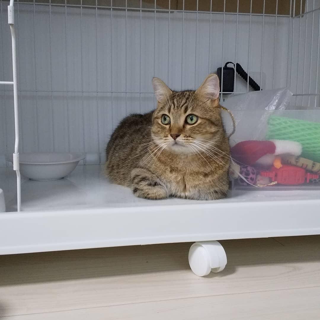 最近、ごはんの時間になるとケージの中に自ら入って待つのだけど、ケージに入る前に、私のとこを経由して肉球でポン!と私の足とか膝を叩いていく…「そろそろごはんよろしくね。」そんな感じの猫様に成長したようです。