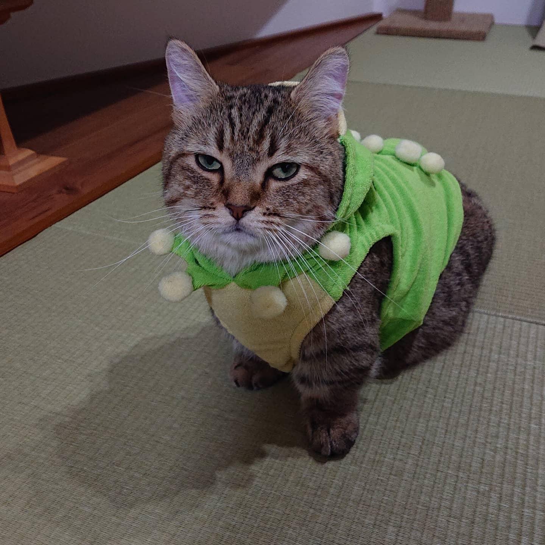 ハロウィンなので、はじめてのコスプレタビ。しまさんにはピチピチだったカエルの服がちょうどいい感じ。迷惑そうなタビでした(笑)..