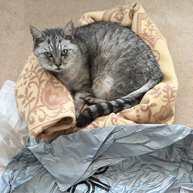 ただいま14:42。今日も暑い…毛布の上なんてさらに暑そう…#ねこ #猫 #飼い猫志願 #cat