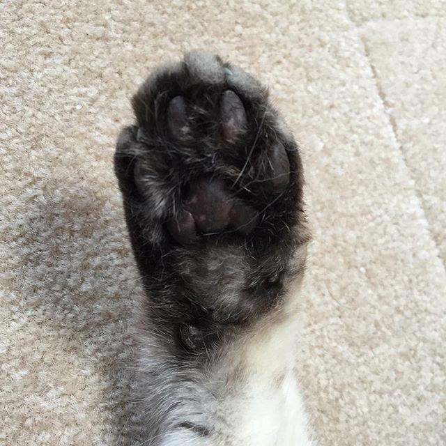 ハイ!#ねこ #猫 #cat #飼い猫志願 #肉球