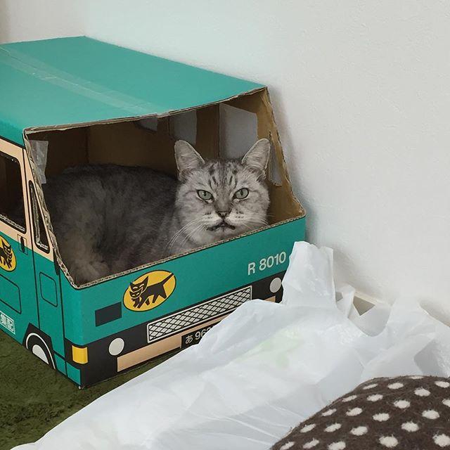 今年もシマネコヤマトにゃ!#ねこ #猫 #飼い猫志願 #cat #ドライバー