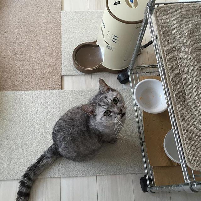ごはんください。お座りしたよ!#ごはん #cat #飼い猫志願 #猫 #ねこ