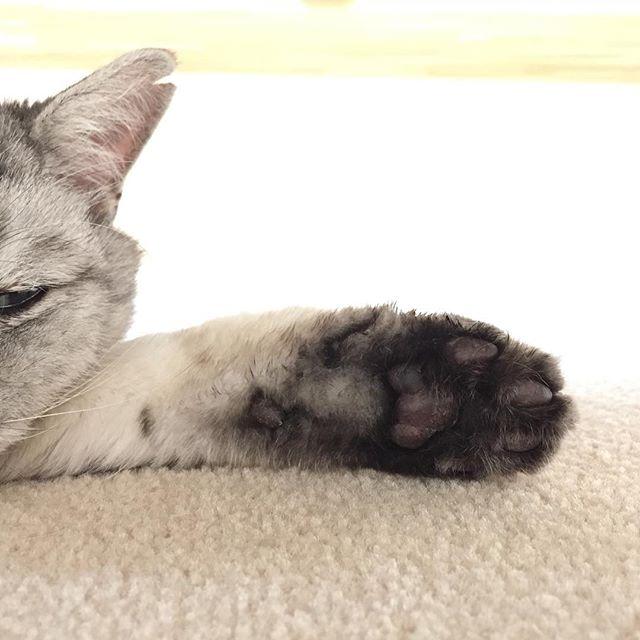 肉球がたまらないのです#肉球 #cat #飼い猫志願 #猫 #ねこ