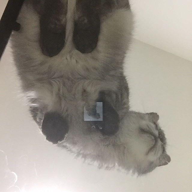 ガラスのテーブルをもらった。そこにのぼったしまさんを下から撮影肉球が〜たまらない(笑)#ねこ #猫 #飼い猫志願 #cat #肉球