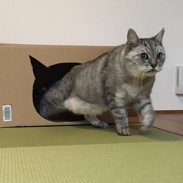 にゅるっ。ダンボールで作ったしまのねこ部屋。#ねこ #猫 #飼い猫志願 #cat #ダンボールハウス