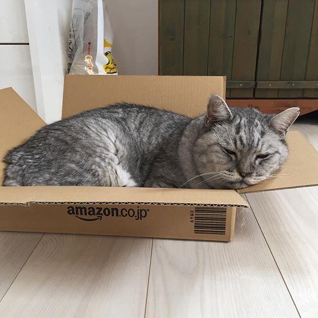 ダンボールのミミの部分はしまさんの顔置き場#cat #猫 #ねこ #ネコ #飼い猫志願 #ダンボール