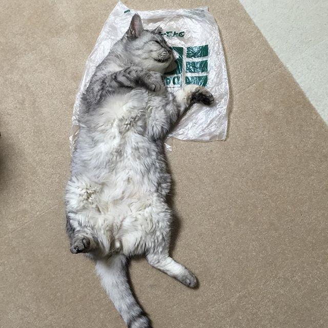 今日も無防備すぎる。しま、いいのか、それで。#猫 #cat #ねこ #ネコ #飼い猫志願 #仰向け