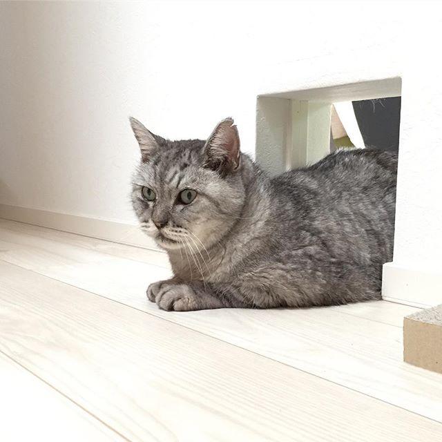 ここでまったり。1時間くらい。#猫 #ネコ #cat #サバ猫 #廊下