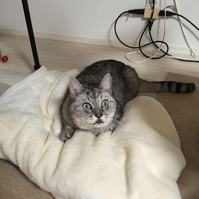 ふわふわの毛布を発見してテンション上がったしまさん。しまさんの私物と化す前にしまわねば!#猫 #cat #ねこ #ネコ #毛布 #ねこ様