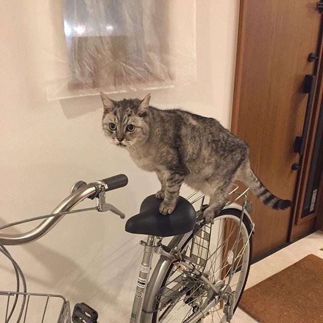 自転車に乗ろうと思うのにゃが♩どうかにゃ?#猫 #cat #ねこ #ネコ #自転車