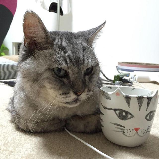 しましまコンビ♩しまさんが踏んでる白いコードはスマホ充電コード。#ネコ #catstagram #ねこ #猫 #cat