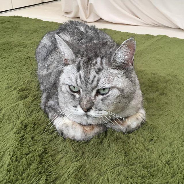 私が部屋を移動するとついてきて監視するしまさん(^-^) #ネコ #ねこ #猫 #catstagram #cat