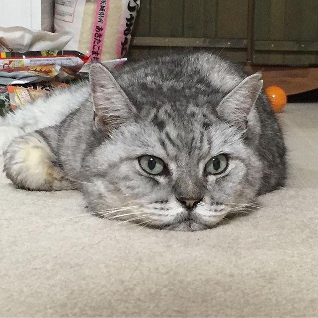 食欲の秋♩ワクワクしながらごはん待ち(^-^) #cat #catstagram #猫 #ねこ #ネコ