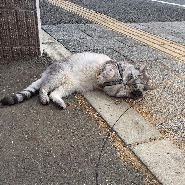 ネコパトの途中で砂だらけになりました…#catstagram #cat #にゃんすたぐらむ #猫