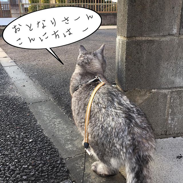 お隣さんをのぞき込むしまさん。今日はネコパト途中で、お散歩中の小型犬に遭遇!威嚇して飛びかかろうとしたので、慌てて抱っこして家の中へ。けんかっぱやいなぁ…