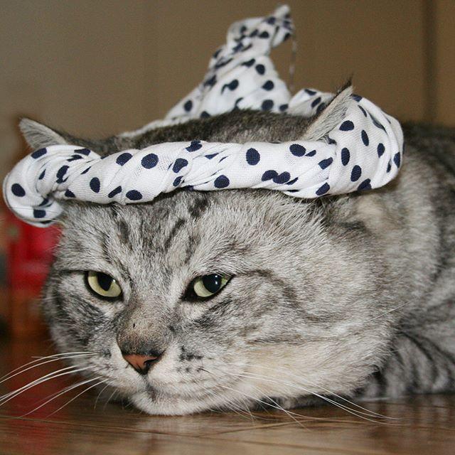 今から約12年前のしまさんやっぱりねじりハチマキが似合う(笑)#にゃんすたぐらむ #ねこ #猫 #catstagram #cat