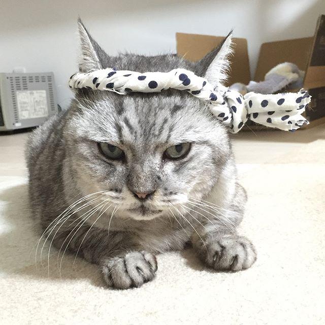 今日のねじりハチマキしまさん。昔の方がおっさんぽいような…でも、今のもやっぱりおっさんか…。 #catstagram #cat #ねこ #にゃんすたぐらむ #豆絞り