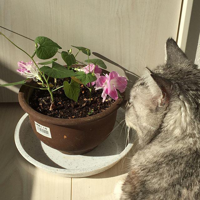 午前中は陽だまりで、朝顔とまったり。夏に咲いた朝顔からできた種が落ちて、芽が出てきたのを部屋に入れてあったかくしたいたら今朝、咲きました。八重咲きの朝顔♩#catstagram #ねこ #朝顔