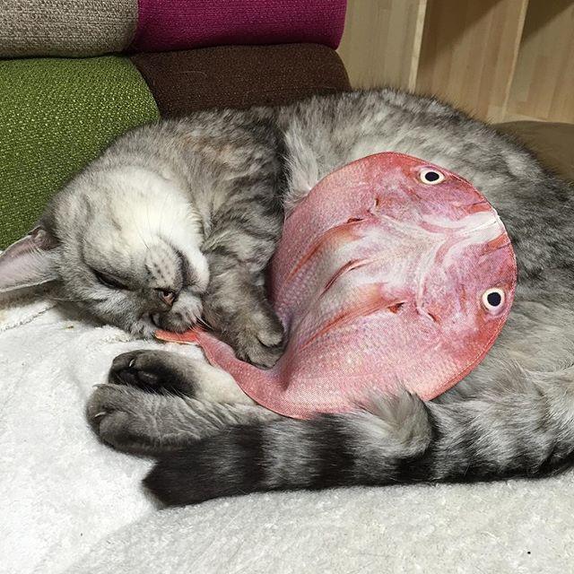 真鯛とお昼寝お気に入り#cat #catstagram #にゃんすたぐらむ #猫