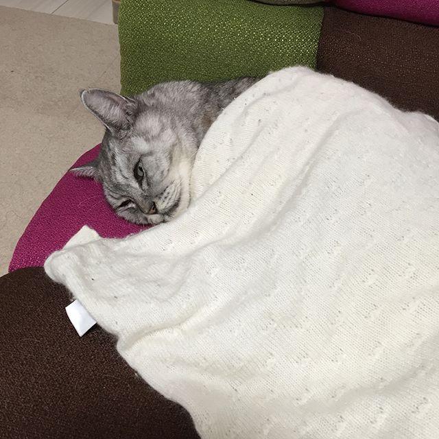 あったかぬくぬくしまさん #ねこ #ネコ #catstagram #cat