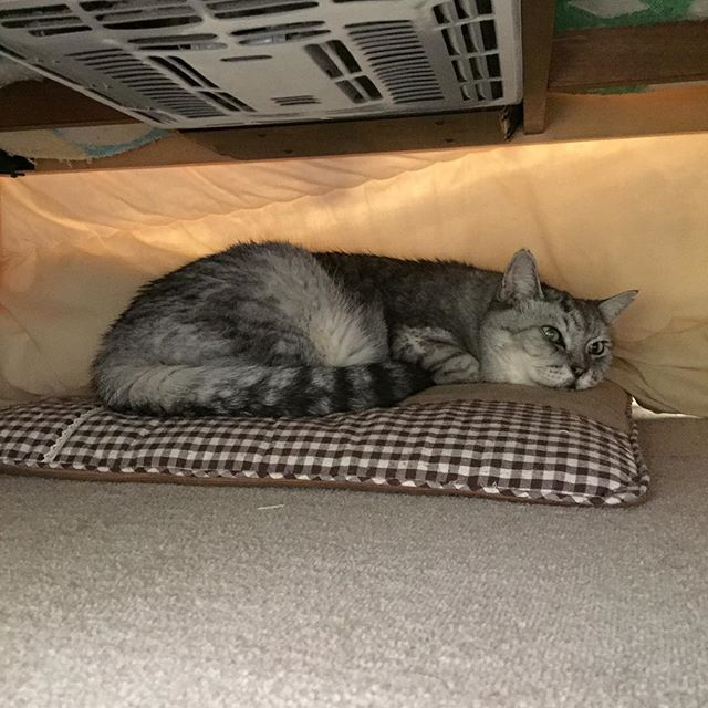 こたつに引きこもり中♩#ねこ部 #猫 #catstagram #cat