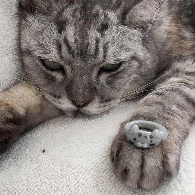 しまさんをモデルにガラスのリングを作ってみました #cat #catstagram #猫 #ガラス #リング