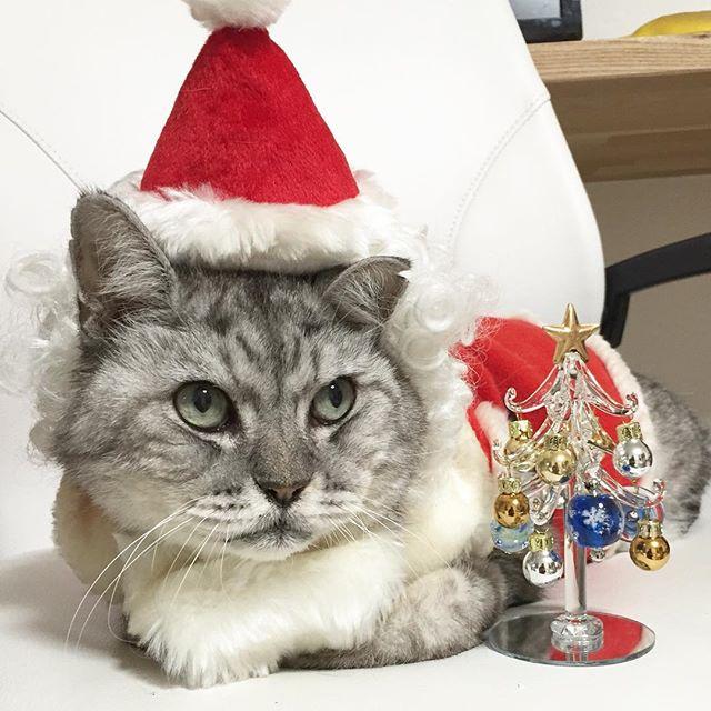 メリークリスマスにゃ#ねこ #猫 #catstagram #cat #クリスマス