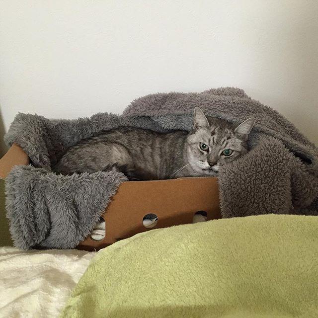 夜、寝る時間になると、お気に入りのネコベッドに先に入り、私が来るのを待っているしまさん。私がなかなか寝ないと「寝るにゃ!」と呼びに来ます(^-^) #catstagram #にゃんすたぐらむ #猫 #cat