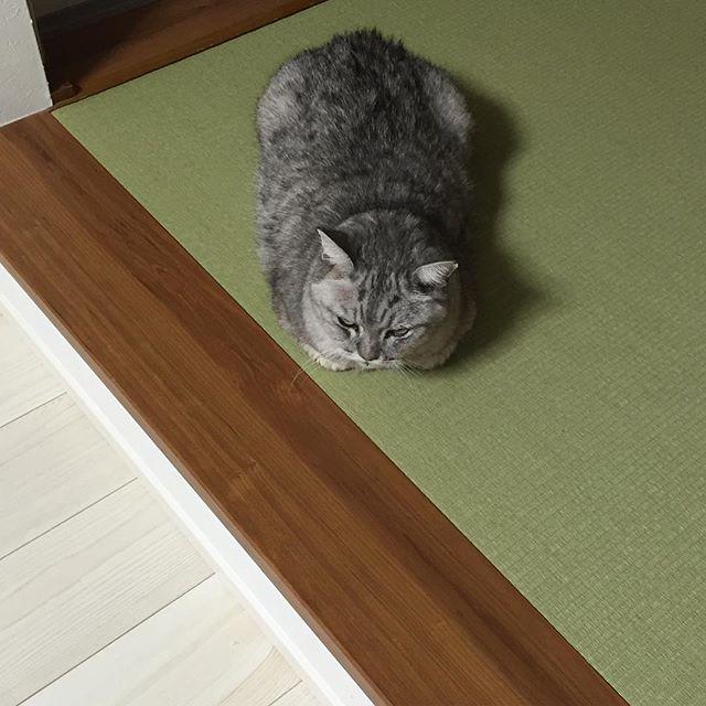 和室でモフモフ瞑想中。#cat #catstagram #猫 #ねこすたぐらむ