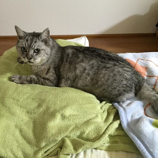 乗っ取りが起こった…。昨夜寝ようとしたら、「今日はここで寝ようかと思う」と私の枕を乗っ取られました…。 #tabbycat #catstagram #cat #猫 #ねこすたぐらむ  #followme