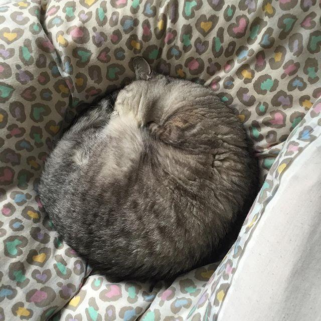 発生したニャンモナイト。見事にまるい…。 #cat #catstagram #tabbycat #ネコ #followme #ニャンモナイト #猫