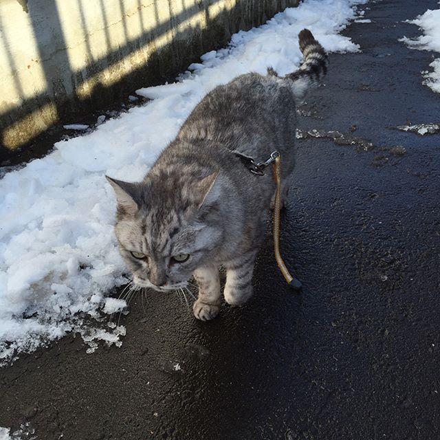 雪かきしていたら、「オレも!オレも!外にでる!」と朝からネコパト(^-^) #cat #catstagram #tabbycat #雪 #followme