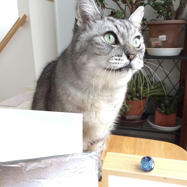 作ったトンボ玉の写真を撮ろうとしたら、しまさんが割り込み(笑)しまさんチェックが入りました(^-^) #cat #catstagram #tabbycat #トンボ玉 #猫