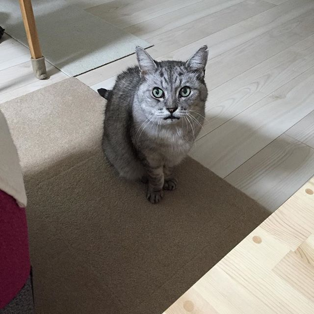 ごはんが足りないんです…もっと食べたいんです…と訴えに来ました(^-^) ブログ更新しました♩#catstagram #tabbycat #cat #猫 #にゃんすたぐらむ
