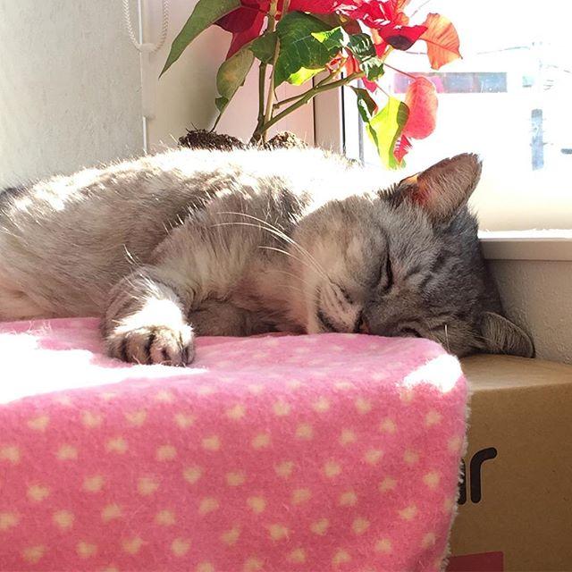 日向ぼっこしながら幸せそうに眠ってる(*^_^*)お日様に反射してキラキラ光るしまさんのモフモフの毛を触りたくなるけどガマン(笑)#cat #catstagram #猫 #ひなたぼっこ #にゃんすたぐらむ