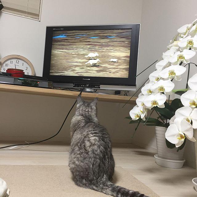 昨日、動物のドキュメンタリーを見ていたら、しまさんが自らテレビの真ん前に位置取り真剣に見始めた。シーンは、「狩り」。しばらく見ていたしまさんでした(^-^) #catstagram #tabbycat #cat #猫 #にゃんすたぐらむ