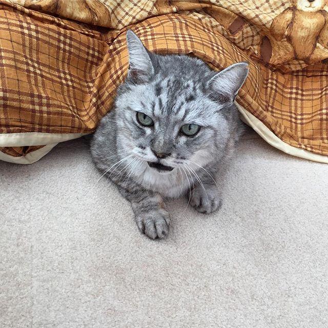 こたつしまさん。ブログ更新しました(*^_^*)飼い猫志願#catstagram #tabbycat #cat #猫 #にゃんすたぐらむ #こたつ