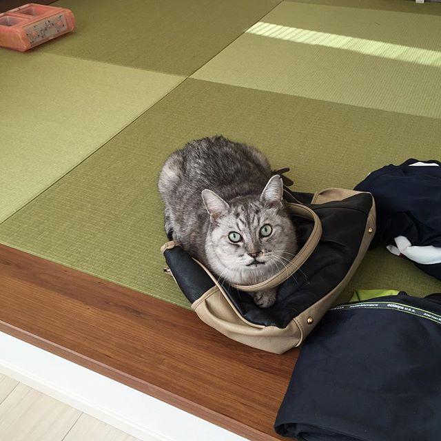 私が出かける時に持ち歩くバッグが取り押さえられてる…なんてこった(笑)外出禁止ということでしょうか…#catstagram #tabbycat #cat #猫 #にゃんすたぐらむ