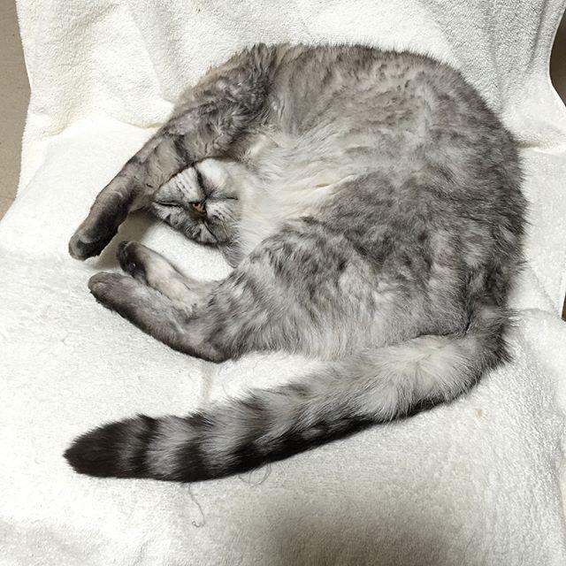 またこんな格好で寝てる(^-^) #catstagram #tabbycat #cat #猫 #にゃんすたぐらむ