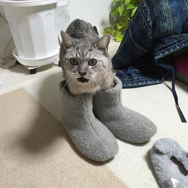 使い方はあってる。#catstagram #tabbycat #cat #猫 #ルームシューズ