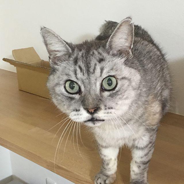 あそぶ?#catstagram #tabbycat #cat #猫 #にゃんすたぐらむ