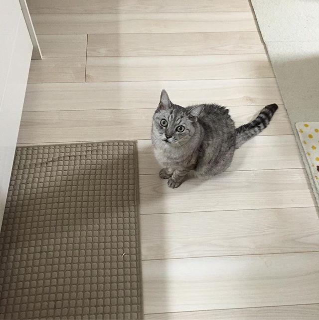 手に持っているその美味しそうなものくださいニャー#catstagram #tabbycat #cat #猫 #にゃんすたぐらむ